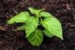 Pepper seedling plant in soil