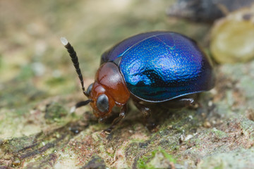 Macro shot of a blue and red beetle