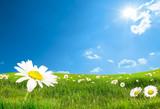 Fototapety daisy