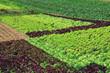 production de salades maraîchères