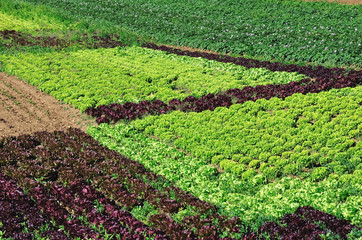 production de salades maraîchères