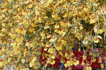 Oncidium orchid flowers