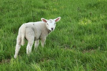 Spring Lamb In Lush Pasture