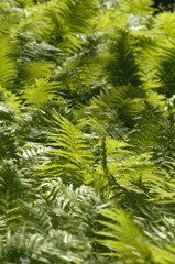 Group of green leaves of fern under the sun