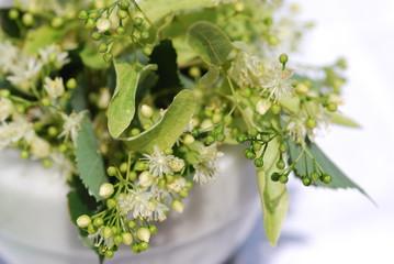 Lindenblüten (Tilia platyphyllos) Homöophatie