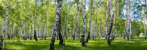 summer birch forest landscape