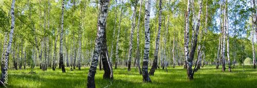 Sommer Birkenwald Landschaft