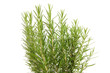Fresh rosemary in closeup over white background