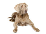 Weimaraner,6 years old isolated on white poster