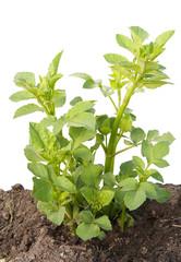 Young sapling, sprout a garden dahlia