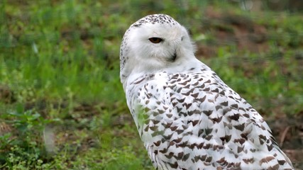 beautiful white owl