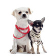chihuahuas et collier