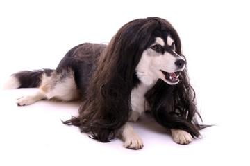 liegender Hund mit Perrücke