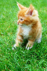 Young Yellow Maine Coon Cat. On the grass.