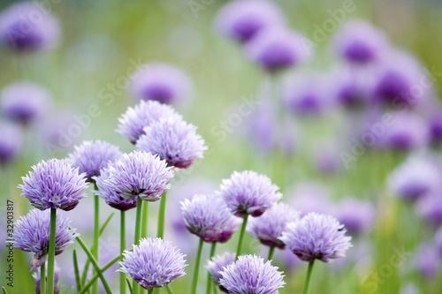 Fototapeta Chives in garden, flowers