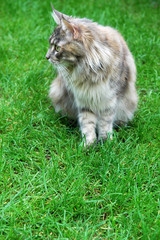 Maine Coon Cat. Sitting On the grass.