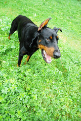 Doberman on the grass with open mouth