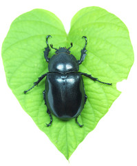Beetle on leaf green