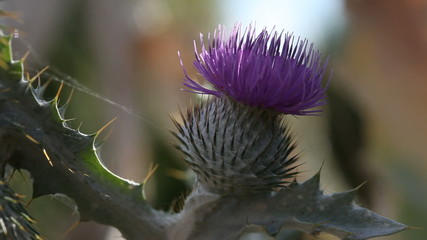 Violette Distelblüte