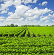 Rows of soy plants in a field