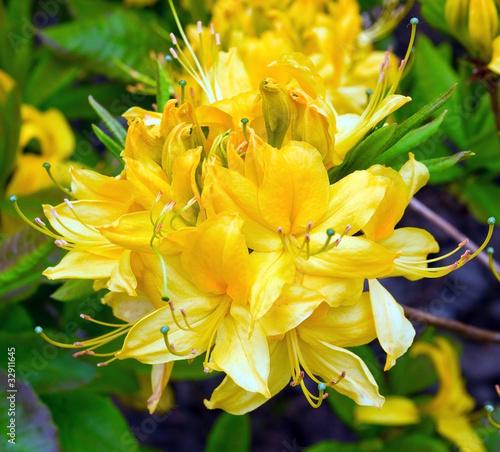 Papiers peints Azalea Rhododendron