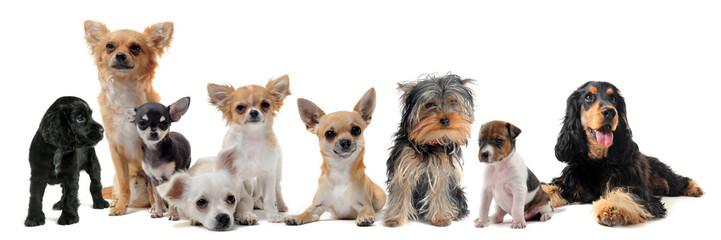 groupe de petits chiens
