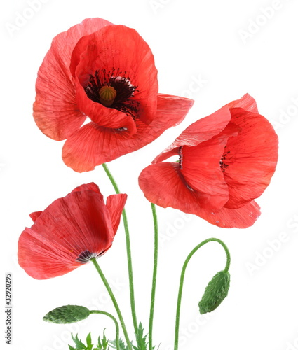 Tuinposter Poppy Beautiful red poppies isolated on a white background.
