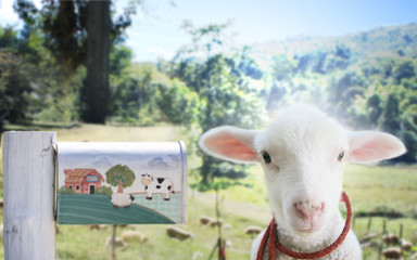 curious lambs ,Sheep