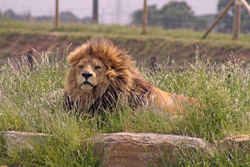 large male lion