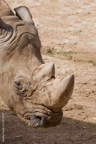 Testa di rinoceronte