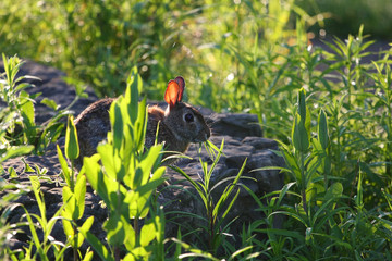 Cottontail Rabbit Sylvilagus