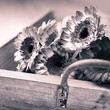 Beautiful gerberas on a rustic wooden tray