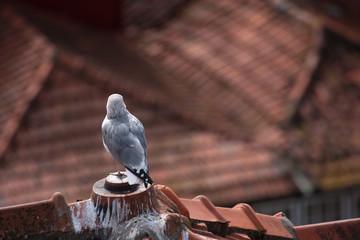 Möwe schaut über Dächer