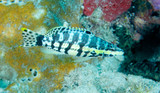 A Harlequin Bass hovering over a coral reef. poster