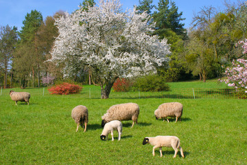 Schafe im Frühling