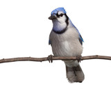 bluejay gazes into the distance