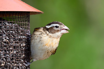 female rose-breasted grosbeak at the feeder