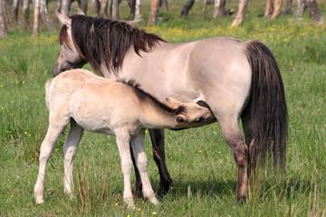 pferdestute mit folen