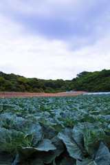 scene[cabbage_field]_02