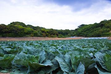 scene[cabbage_field]_01