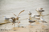 flock of seagulls wading on a sandy beach poster