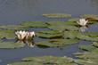 Речные белые лилии на реке Случь, Беларусь.