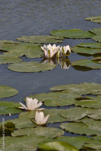 Белые речные лилии.
