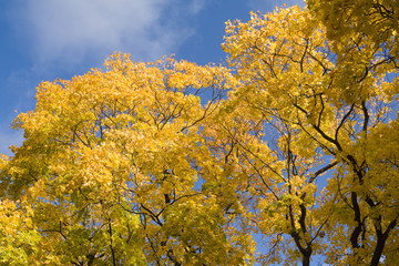 Golden tops of a maple trees