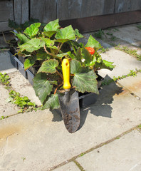 Trowel and bedding plants