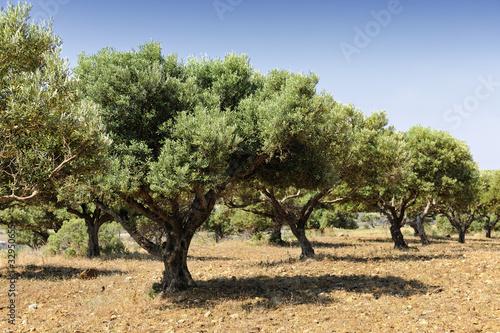 Tuinposter Olijfboom Olive tree orchard near Kardamena