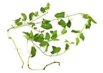 A pernicious weed - field bindweed