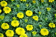Growing Bright Yellow Marigolds
