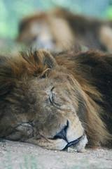 おやすみライオン