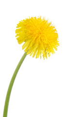 Yellow dandelion isolated on a white